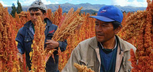 Al igual que la papa, la quinua fue uno de los principales alimentos de los pueblos andinos antes de los Incas. Tradicionalmente, el grano de quinua se tuesta y luego se convierte en harina para hacer diferentes tipos de panes.  También se puede añadir a las sopas, utilizado como un cereal, convertido en pasta e incluso fermentado para hacer cerveza o chicha, la bebida tradicional de los Andes.