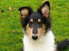 Collie, Hond, Bont, Dierenwereld