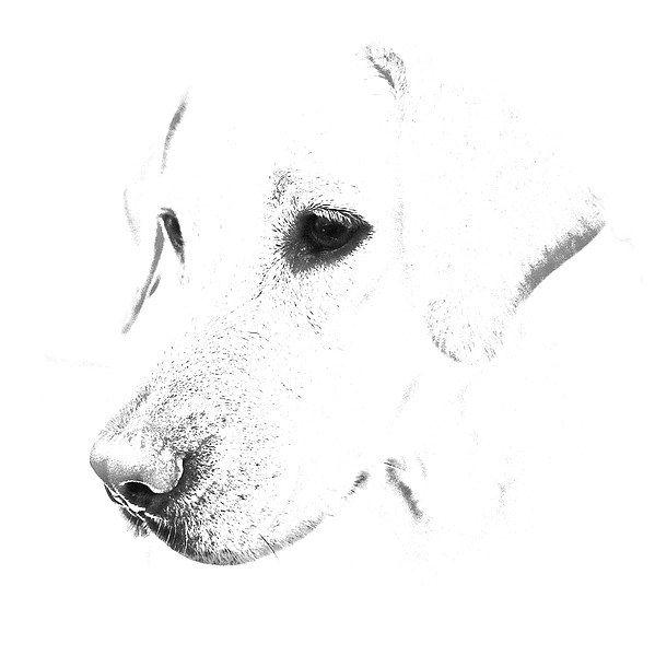 labrador sketches - Google Search