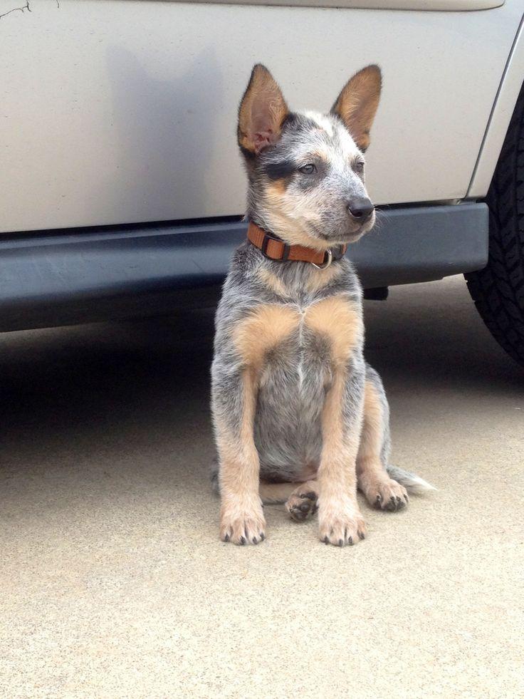 Perfect blue Heeler puppy
