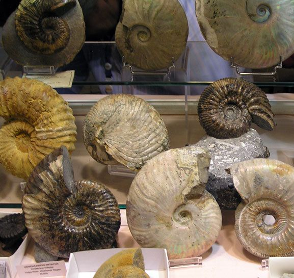 Amonites-fosiles                                                       …