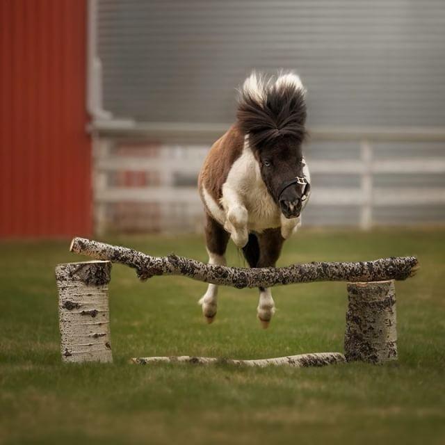 Jumping Mini! // #horse #horses #horsejumping #showjumping #equine #equinephotography #equestrian #mini #minihorse #minihorses #yyc #calgary #canadianequinephotographer #canadianequine #canadianphotographer #canon #canonphotography #debby #debbyherold #green #red #cute #ilovehorses #horsesofinstagram #horseshow