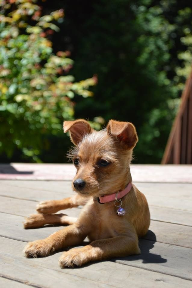 chihuahua and terrier mix 32 best images about chihuahua terrier mixes on pinterest 4387