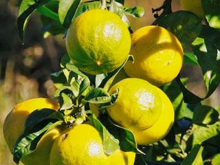 Propriétés de l'huile essentielle de bergamote...