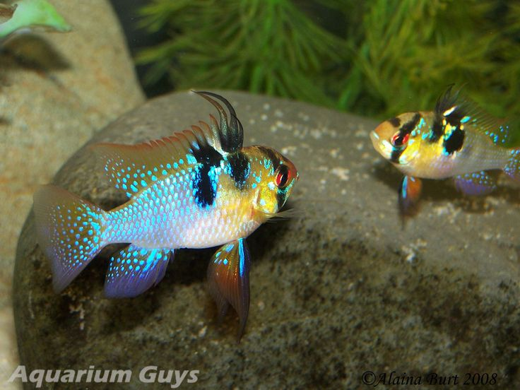 German Blue Ram Cichlid Aquariums Fish Pinterest