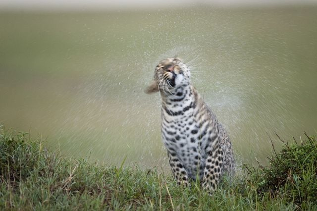 Travel and Culture: African Proverbs and Their Meanings: Rain Beats the Leopard's Skin But it Does Not Wash Out the Spots