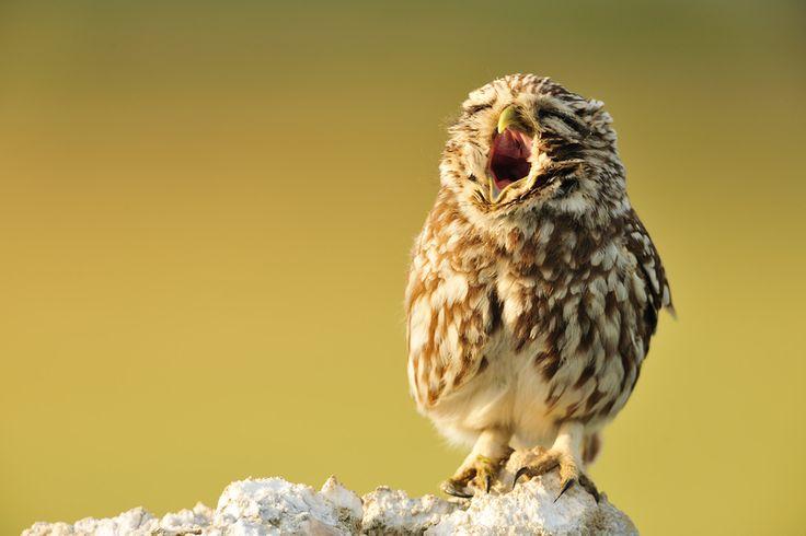 Yawning Little owl: Little Owl, Sleepy Owl, Baby Owl, Owl Photo, Owl Yawn, Beautiful Photography, Yawn Animal, Yves Adam, Yawn Owl