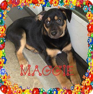 Houston, TX - Siberian Husky/English Shepherd Mix. Meet Maggi, a dog for adoption. http://www.adoptapet.com/pet/13137249-houston-texas-siberian-husky-mix