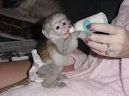 pygmy marmoset drinking from a bottle!