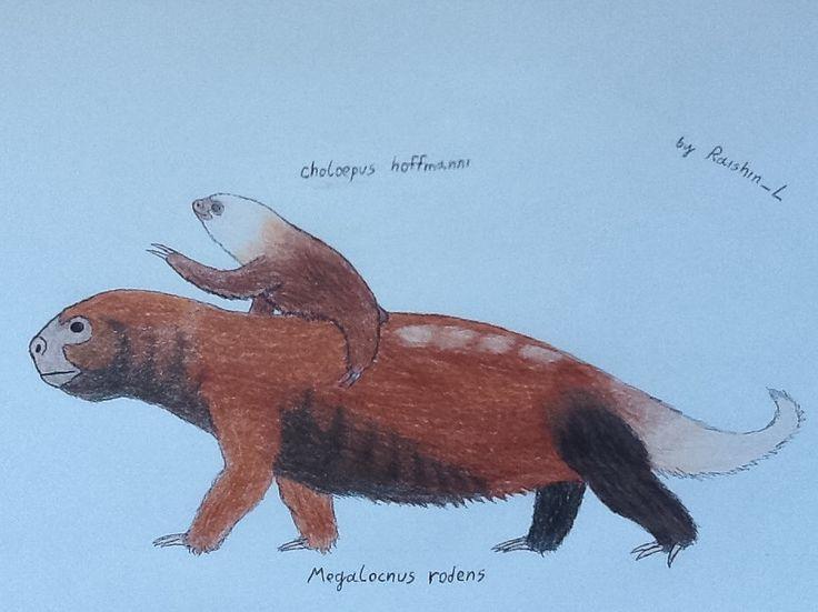 Placentalia> Xenarthra> Pilosa> Folivora> Megalonychidae> Megalocnus & Choloepus> M.rodens & C.hoffmanni Other names: Rodens Carribean ground sloth & Hoffmann's two-to...