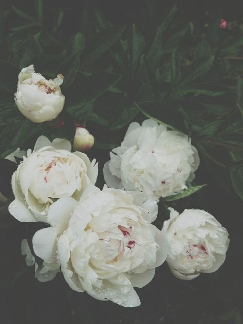 White peonies. | Painting Inspiration | Pinterest