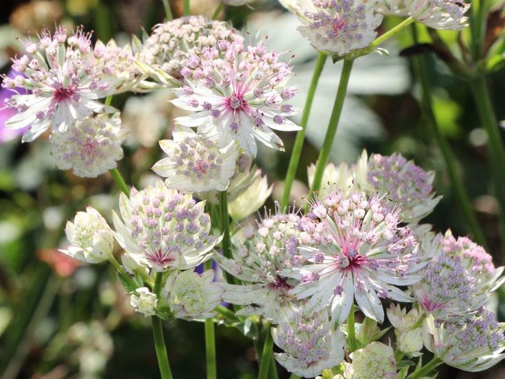 Astrantia-major-Sunningdale-Variegated.jpg (1024×768)