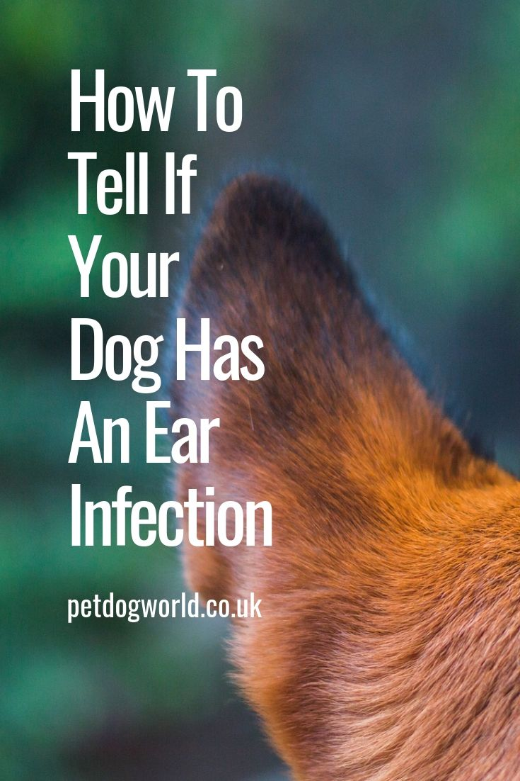 How To Tell If Your Dog Has An Ear Infection Ear Infection Dogs