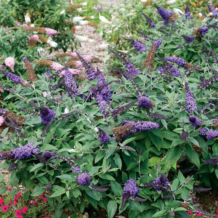 Dwarf Butterfly Bush Lo And Behold