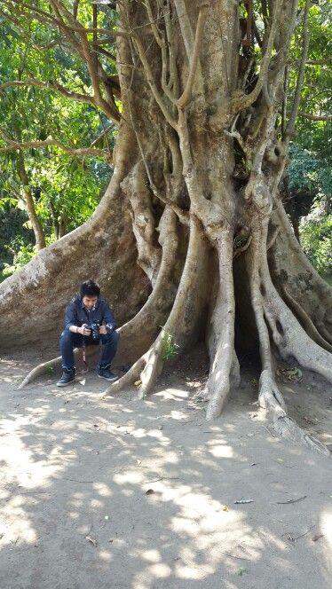 Pohon Lo - Andeman Turen Malang