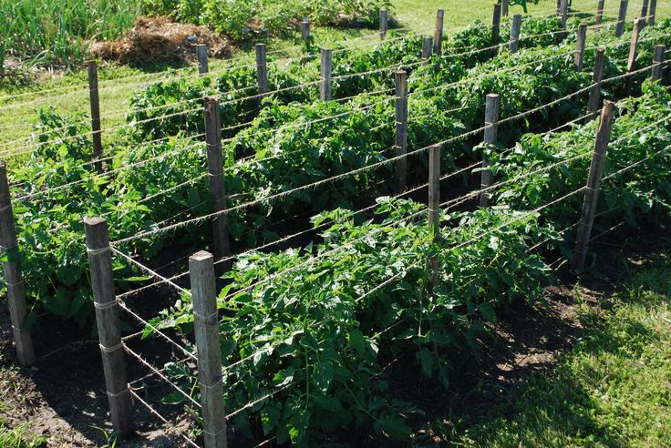 Tomato Support Cages In The Garden Pinterest Plants