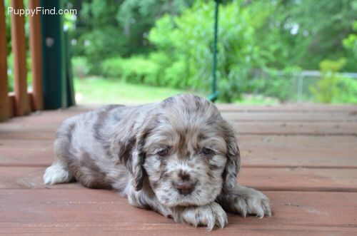 Chocolate Merle Cocker Spaniel