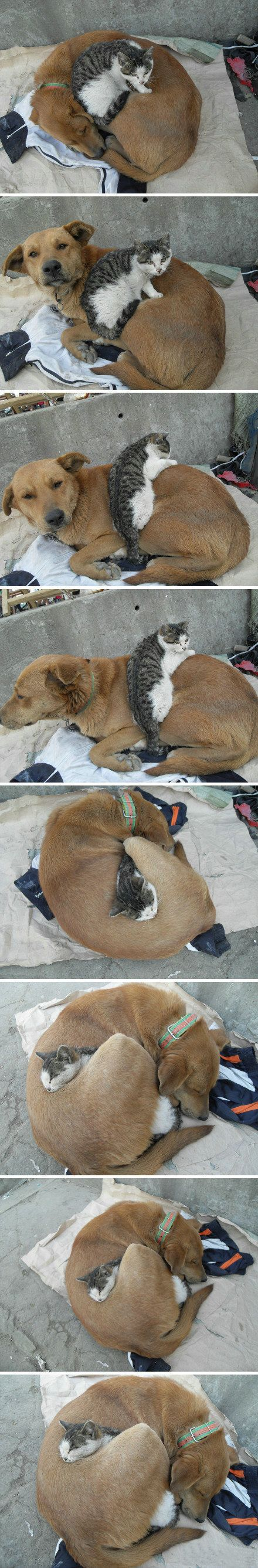 Such a sweet series of photos. (Now these two are FRIENDS!) - Now, around this house- it's the opposite- Dog + Cat= CHASE!