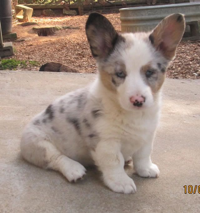 blue merle corgi - the corgi lady
