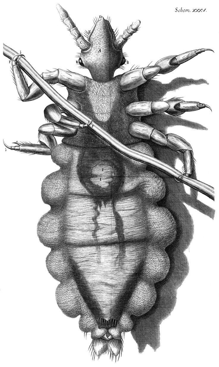 Louse diagram, Micrographia, Robert Hooke, 1667 - Robert Hooke - Wikipedia