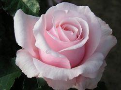 Bride and Groom  Pink Rose