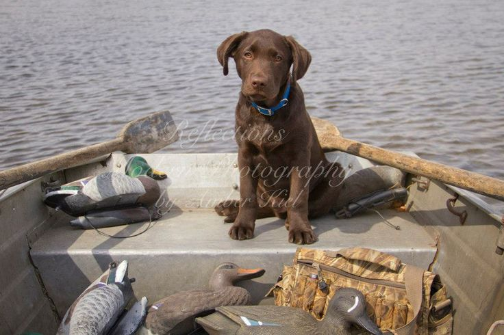 Hunting Lab Puppy Chocolate Lab | Animals | Pinterest ...