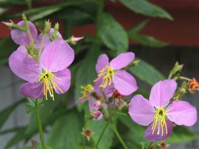 Rhexia virginica long-blooming, bog wildflower