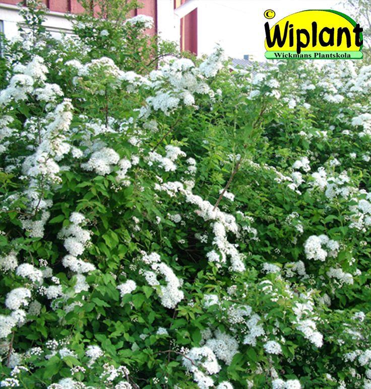 Spiraea chamaedryfolia, Kvastspirea. Snabbväxande, vit blomning i maj. Höjd: 1,5 m.
