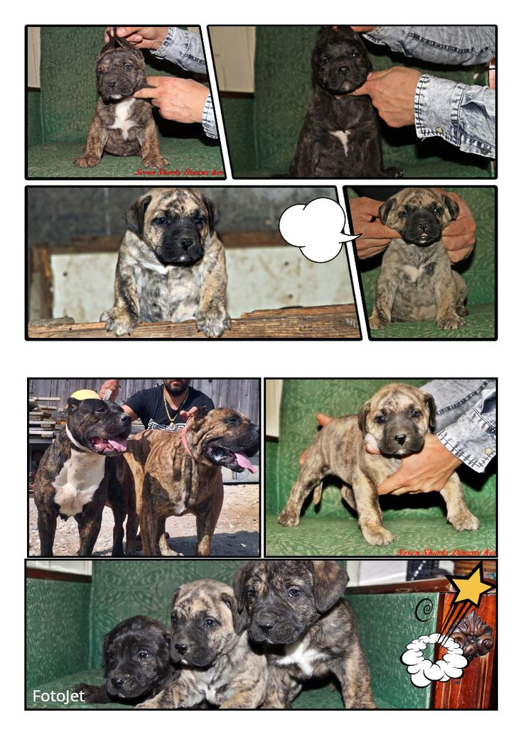 DOGO CANARIO FOR SALE WHATAPP +40760543706