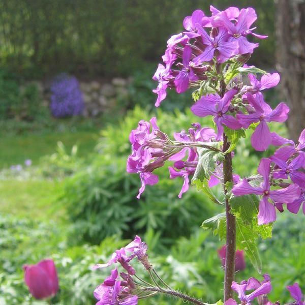 Dejlig plante med smukke lilla blomster, der pynter i bedene allerede i april-maj. Den betragtes undertiden som en slags ukrudt, hvilket virkelig er uretfærdigt! Blomsterne er yndige i de allertidligste buketter – fx som på foto sammen med tulipaner. Frøstandene er særprægede 'mønter' – først grønne, siden blanke og skinnende. Flittigt selvsående, nem at få til at spire, men udvikler sig ikke til et ukrudtsproblem – det er nemt at fjerne planter, hvis man synes, at man får for mange. Den er…