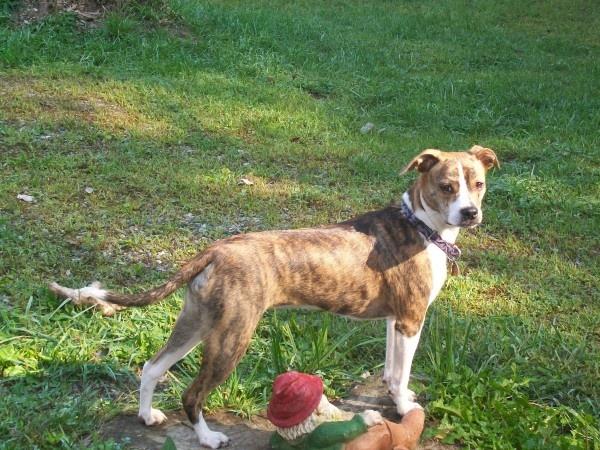 Phoebe - boston terrier, pug, beagle mix