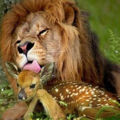 Male Lion Quot Mothering Quot A Baby Deer Unlikely Animal