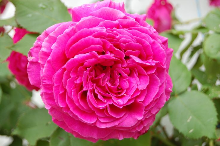 One of the 100 year old cabbage roses at Rose Cottage they are still blooming amazingly after all these years!