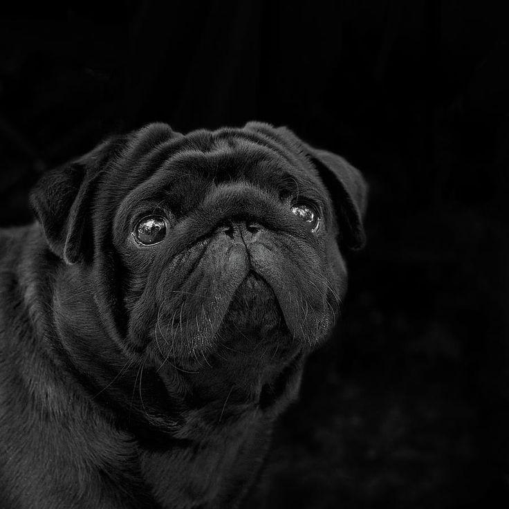 Inquisitive Fellow B/w Photograph by Irina, black pug closeup portrait, Safonova#IrinaSafonova#Works  #FineArtPhotography  #HomeDecor #IrinaSafonovaFineArtPhotography  #ArtForHome  #FineArtPrints  #HomeDecor  #Animal, #dog,