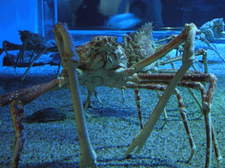 Giant Spider Crab - Growing up to 12 foot leg spans and weighing up to 42 pounds, these crabs earned their name.  They sometimes decorate their shells with other sea animals to blend in and avoid predators and can live to be a hundred years old.
