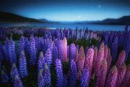 Lago de la naturaleza, Nueva Zelanda, noche, noche, lupino, campo de flores,