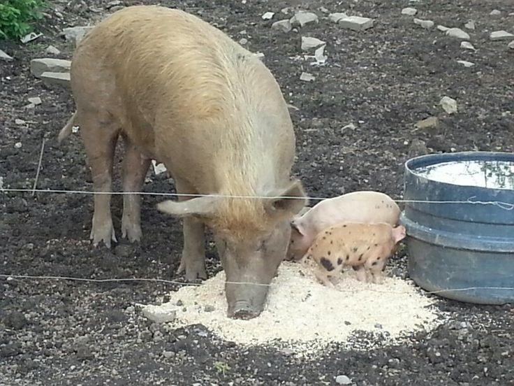 Piglets at Longueville House