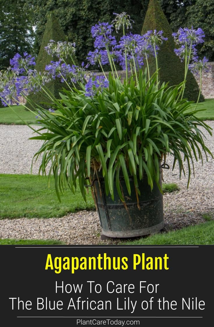 Agapanthus Blue How To Care For African Lily Of The Nile In 2020 African Lily Agapanthus Plant Plants