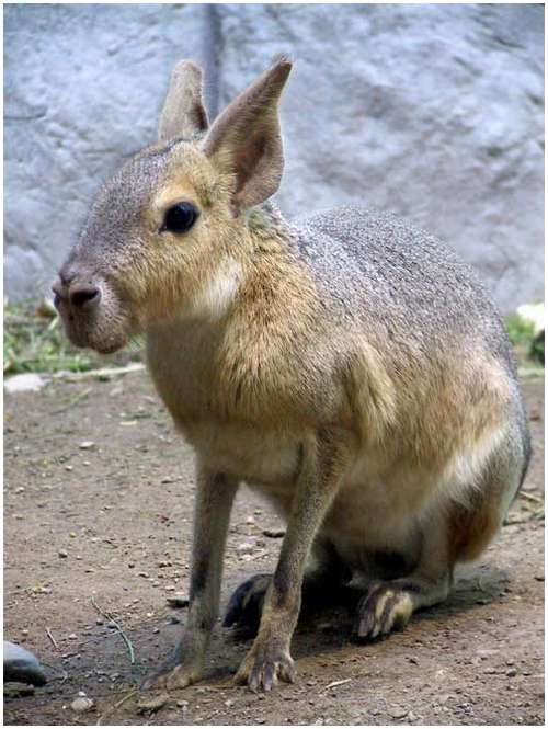 A large rodent that looks sort of like a rabbit, sort of like a donkey. The Patagonian Mara lives in Central and Southern Argentina. Maras inhabit arid grasslands and scrub desert.