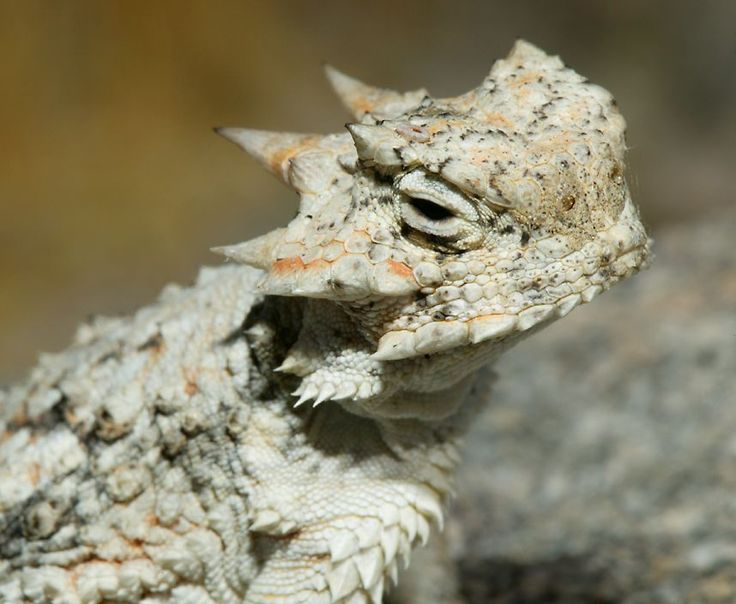 Horned Lizard - not sure particular subspecies - photo from Reptiles of California's Coachella Valley