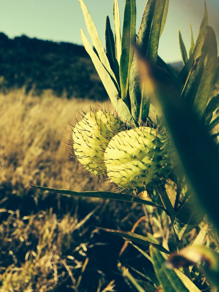 The hairy ball plant Esk Qld