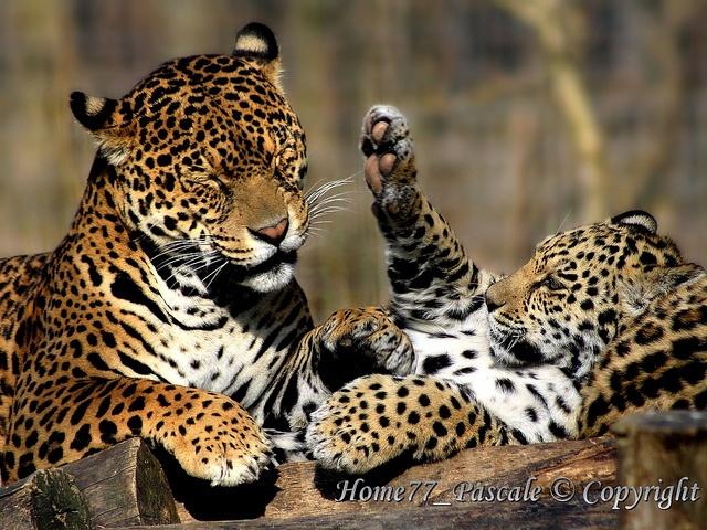 Querelle de famille chez les jaguars !, via Flickr.