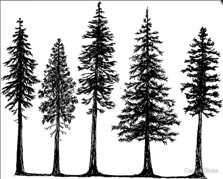 Image result for douglas fir outline tattoo
