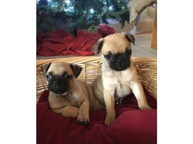 stunning 3/4 pug puppies, fawn. Wormed, flead and chipped. Both parents are 3/4 and have fantastic temperament very pretty and very puggy. Look just like pugs but not quite as squashed faced, so should have a healthier life! already have adorable little characters, used to lively family environment...