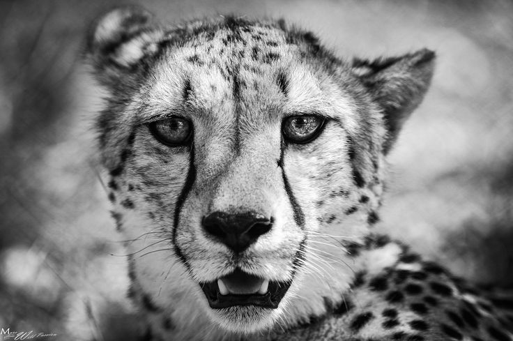 I'm a big cat by Marc Lamey on 500px