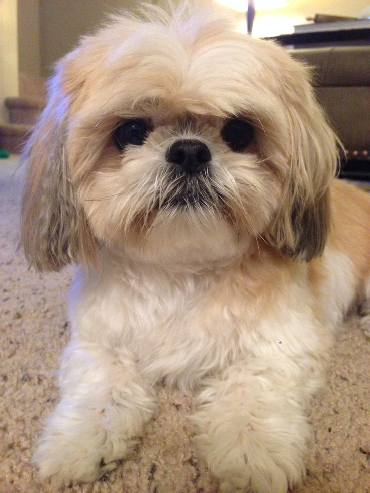 Puppy Shih tzu named Bella | I don't give a Shih Tzu ...
