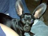 chihuahua dachshund mix - Bing Images - My ears are NOT too big for me!!
