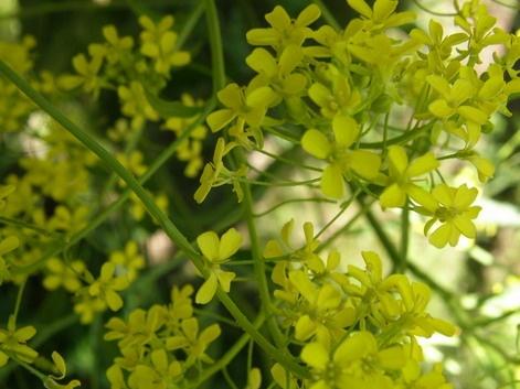 Ukonpalko (Bunias orientalis)