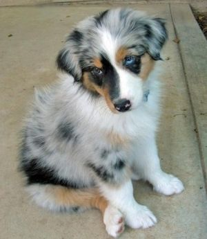 australian shepherd poodle mix | Amy Barber Australian shepherd puppy. Want Want want ^_^