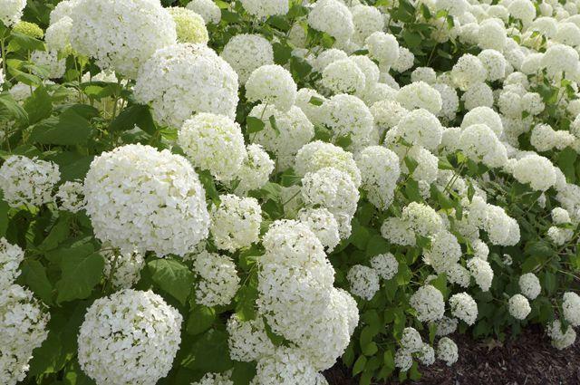 Август в саду – время цветения гортензий! А расскажем мы осамой известной илюбимой.  Гортензию древовидную знают почти все. Ведь это уникальный кустарник, который отличается быстрым ростом, высокой…
